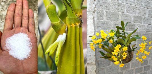 Orkide Kökü Nasıl Canlandırılır?
